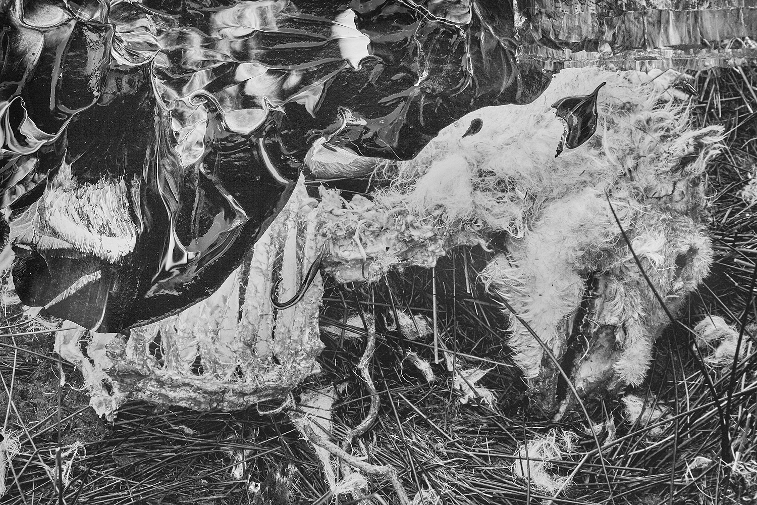 #painting-#photography#fineart#popart-#peterwesth-Peter Westh-@peterwesth-detail-sheep-dead-wales-fields